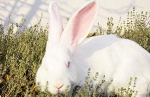 Kaninchenantikörper