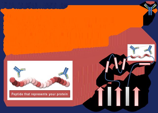 Peptidantikörper Informationen
