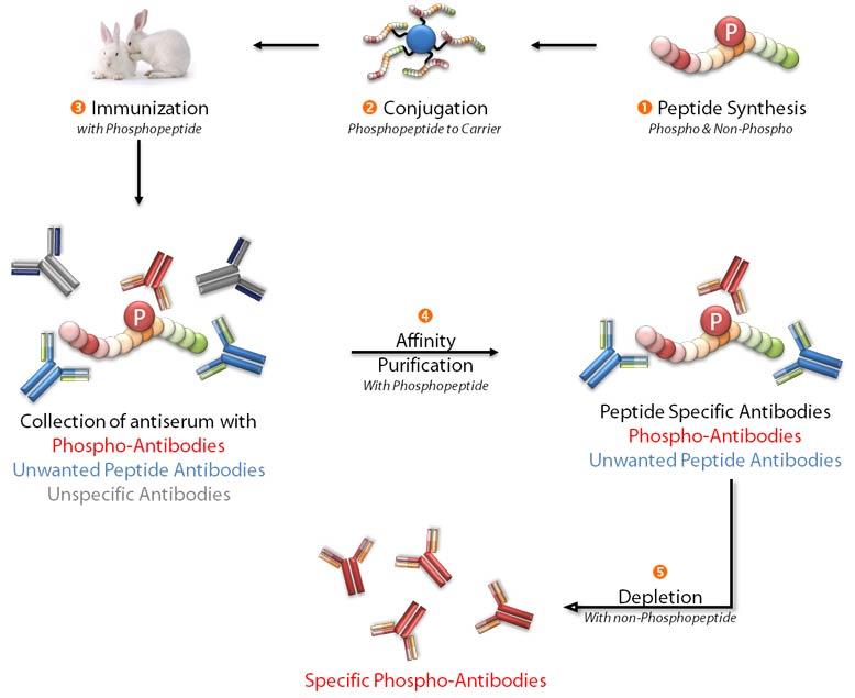 Phosphospezifische Antikörper Produktionsschemata